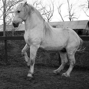 white-percheron-2